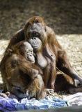 Mère et enfant de Bornean Photos stock