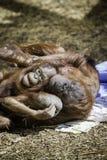 Mère et enfant de Bornean Orangutam caressant Photo stock