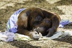 Mère et enfant de Bornean Orangutam caressant Photos libres de droits