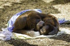 Mère et enfant de Bornean Orangutam caressant Photos stock