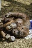 Mère et enfant de Bornean Orangutam caressant Photographie stock