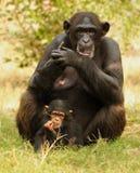 Mère et enfant de chimpanzé Image libre de droits