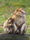 Mère et enfant de singe de Berber photos stock