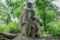 Mère et enfant de singe l'Inde photographie stock libre de droits