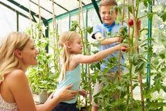Mère et enfants moissonnant des tomates en serre chaude Image stock
