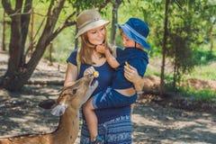 Mère et fils alimentant de beaux cerfs communs des mains dans un zoo tropical Images stock