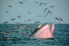 Mère et fils de deux baleines ouvrant leur bouche pour manger l'anchois Photo libre de droits