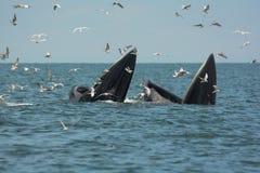 Mère et fils de deux baleines ouvrant leur bouche pour manger l'anchois Photos libres de droits