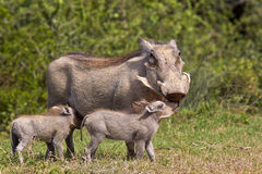 Mère et jeunes de phacochère Photographie stock