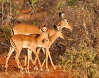 Mère et jumeaux d'Impala Images stock