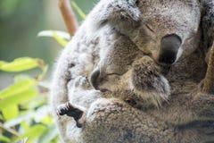 Mère et koala de joey caressant Image libre de droits
