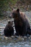Mère et petit animal d'ours gris Images stock