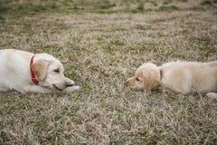 Mère et petit animal de labrador retriever s'étendant sur l'herbe Images stock