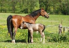 Mère et poulain Images libres de droits