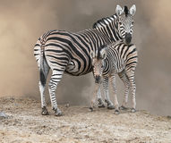 Mère et poulain de zèbre Photos libres de droits