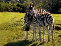Mère et poulain Zebra's1 Photos libres de droits