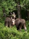 Mère et veau Photo libre de droits