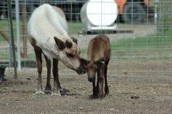 Mère et veau Photographie stock