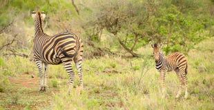 Mère et veau africains de zèbre dans une réservation sud-africaine de jeu photos libres de droits