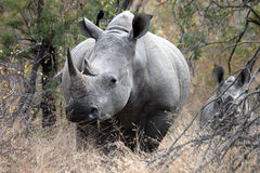 Mère et veau blancs de rhinocéros Images libres de droits