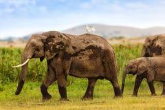 Mère et veau d'éléphant Photos libres de droits