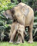 Mère et veau d'éléphant Photographie stock