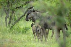 Mère et veau de gnou à l'attention photo stock