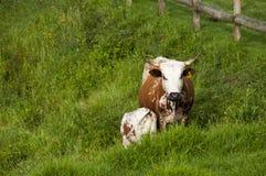Mère et veau de Nguni dans le domaine Photographie stock libre de droits