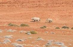Mère noire de rhinocéros avec le fils, Namibie du nord Photo stock