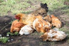 Mère rouge de poulet avec des poulets creusant dans la terre, recherchant la nourriture, repos, se trouvant image stock