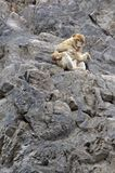 mères de singe d'amour Photographie stock libre de droits