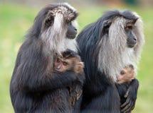 Mères et enfants en bas âge de Macaque suivis par lion Image stock