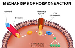 Mécanismes d'action d'hormone illustration stock