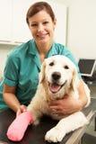 Médecin vétérinaire féminin traitant le crabot dans la chirurgie Photos libres de droits