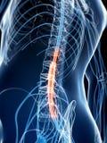Médula espinal destacada Imágenes de archivo libres de regalías