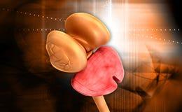 Médula espinal y cerebelo del tálamo Foto de archivo libre de regalías