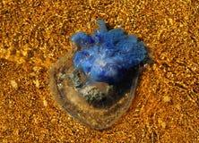 Méduse sur le rivage Photographie stock libre de droits