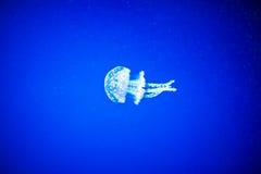 Méduses à un arrière-plan bleu Photo libre de droits