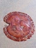 méduses Image libre de droits