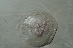 méduses Images libres de droits