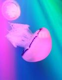 méduses Photo libre de droits