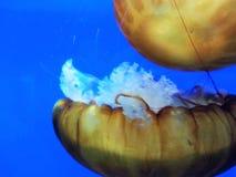 méduses Image stock