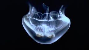 Méduses blanches dans l'aquarium de La Rochelle t images libres de droits