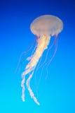 Méduses dans l'océan Images libres de droits