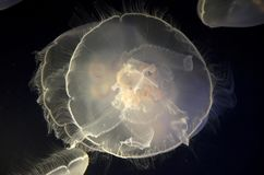 Méduses dans le zoo et l'aquarium de défi de point photos stock