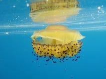 Méduses de Cassiopea Photographie stock libre de droits