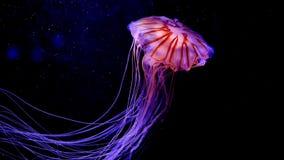 Méduses en gros plan, méduse dans l'aquarium avec la lampe au néon La méduse est coelentéré marin de gratuit-natation avec une cl banque de vidéos