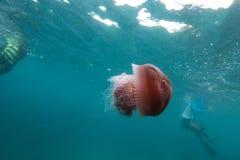 méduses et plongeurs en île de dragon de Lord Loughbolough ou de mer, image stock