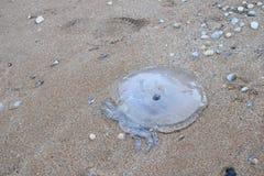 Méduses mortes sur la plage Photos stock