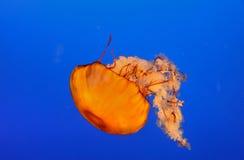 Méduses oranges Images libres de droits